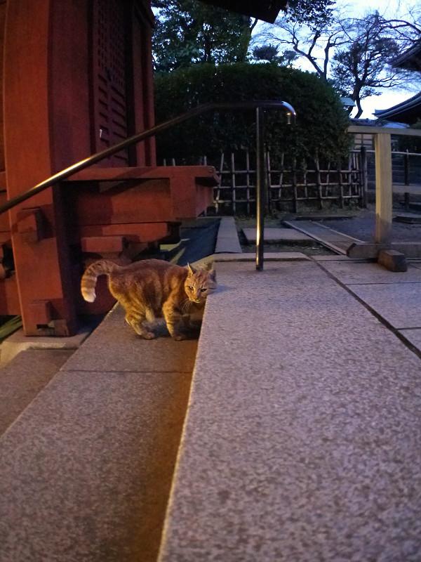 夜更けのアメショー風猫1