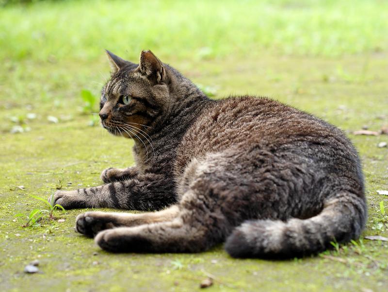 草むらのキジトラ猫1