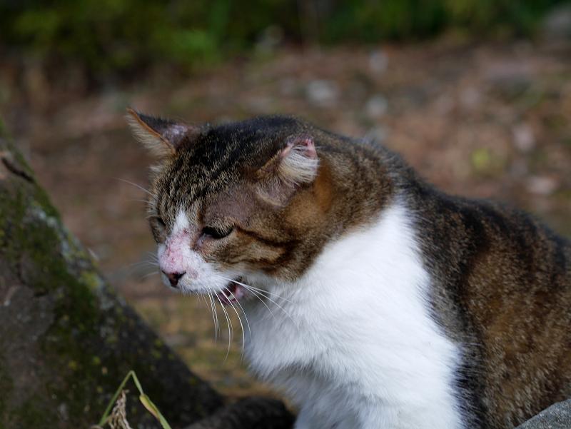ベロを出しながらこっちを向くキジ白猫1