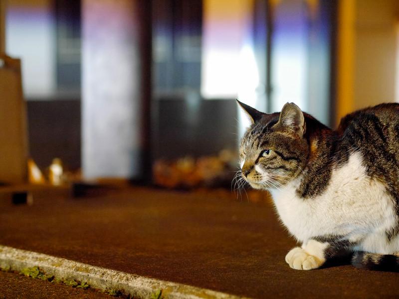 夕暮れに人を待ってるキジ白猫1