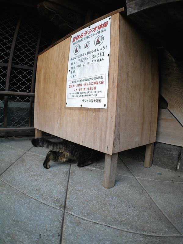 ラジオ体操の机下のキジトラ猫2