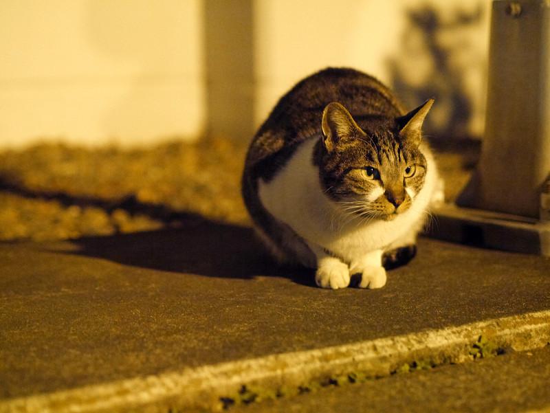 夕暮れに人を待ってるキジ白猫2