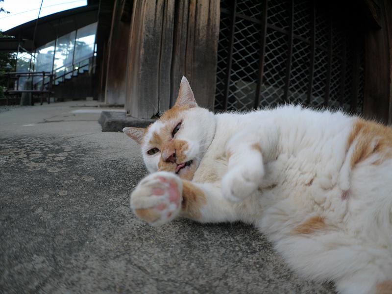 犬走りの茶白猫3