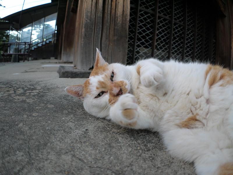犬走りの茶白猫4