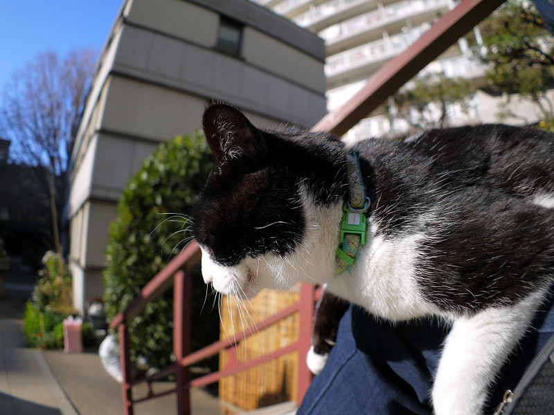 膝に乗ってる黒白猫