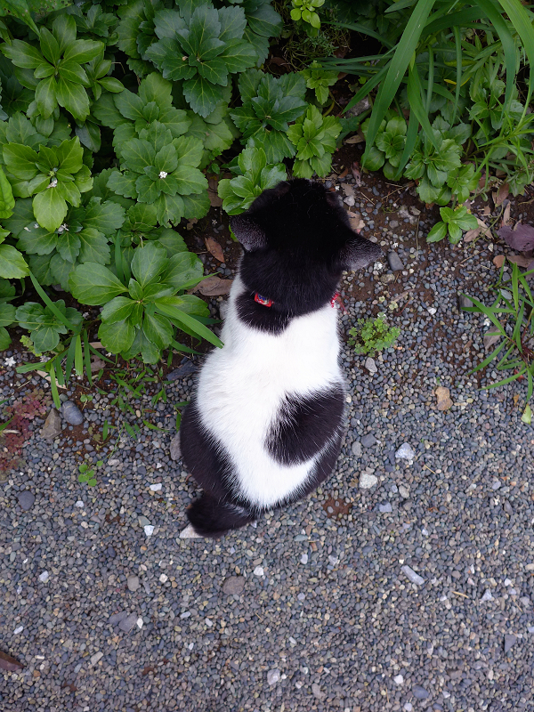 白黒猫の後ろ姿1
