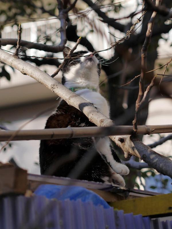 トタン屋根と枝と黒白猫1
