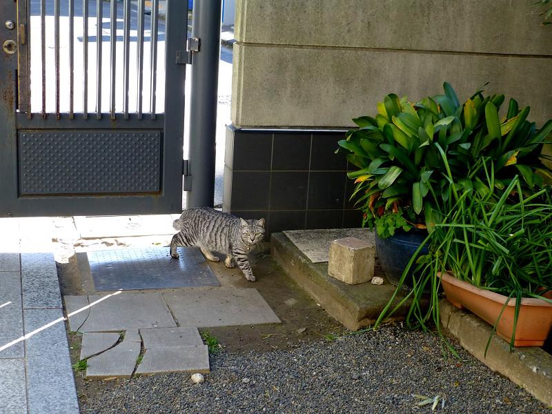 外から帰って来たサバトラ猫1