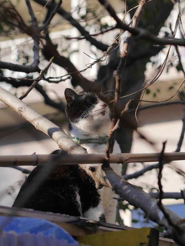 トタン屋根と枝と黒白猫2