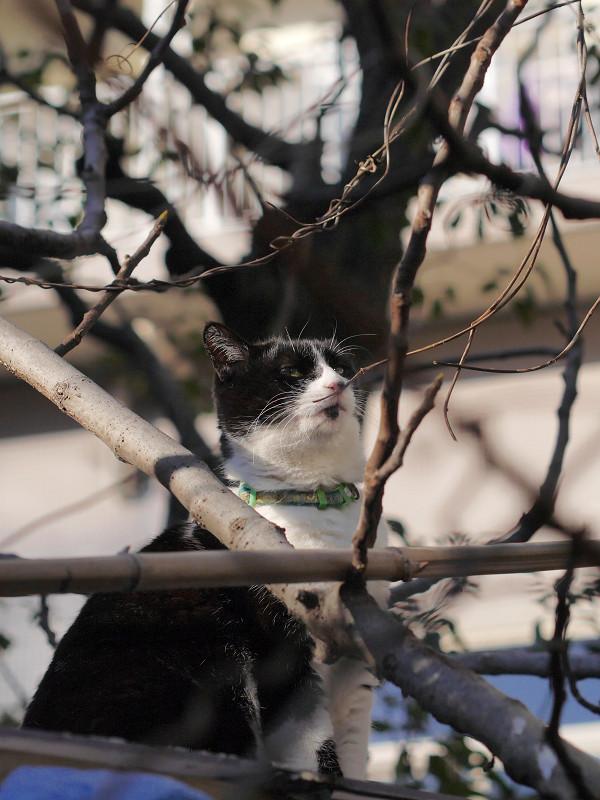 トタン屋根と枝と黒白猫3