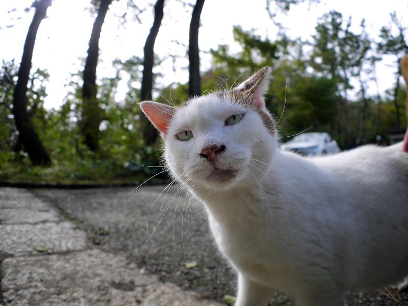 段々と鳴いてくる白キジ猫1