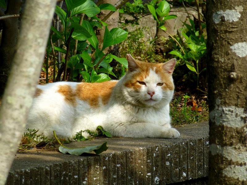公園の大きな白茶猫1