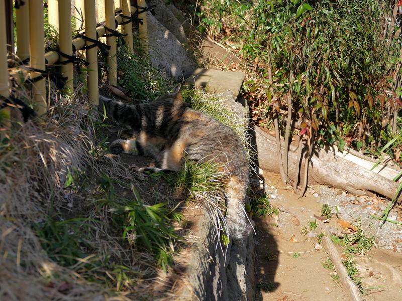 草むらと柵の間のキジトラ猫1