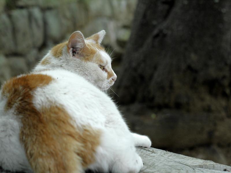 少しずつ振り返る白茶猫1