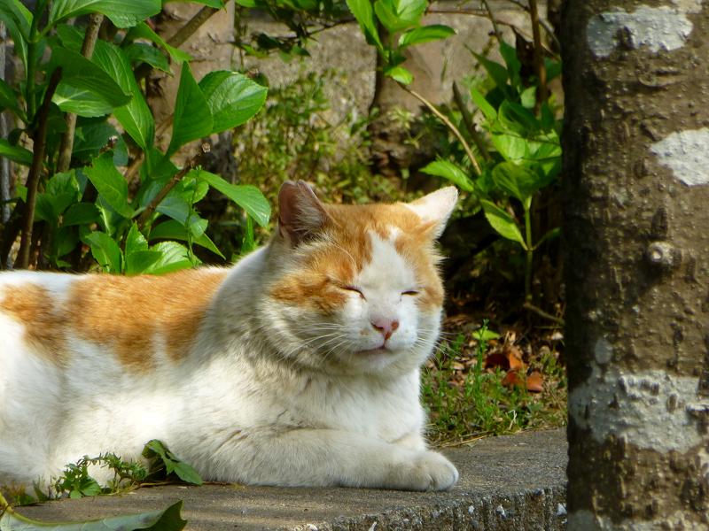 公園の大きな白茶猫2