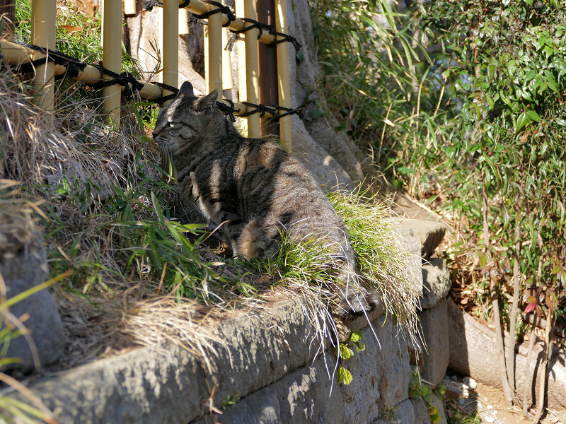 草むらと柵の間のキジトラ猫2
