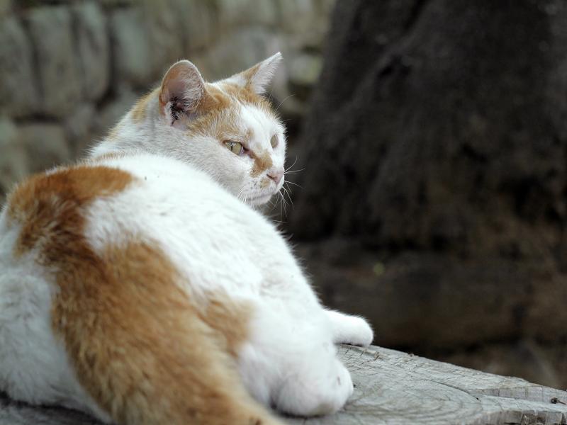 少しずつ振り返る白茶猫2