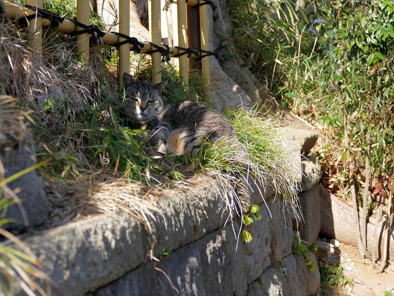 草むらと柵の間のキジトラ猫3