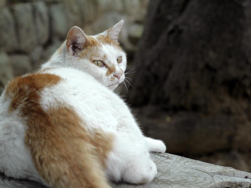 少しずつ振り返る白茶猫3