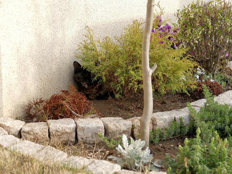 低木とサビ柄猫1