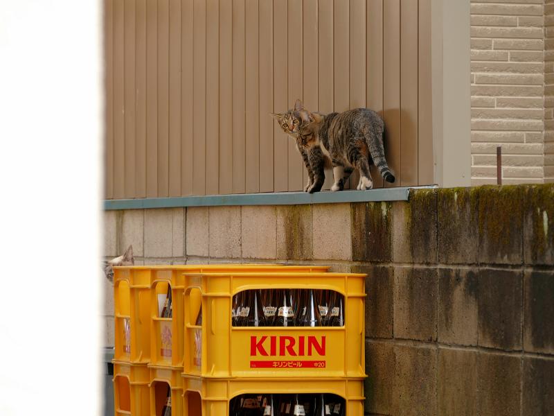 ブロック塀を歩く仔猫たち1
