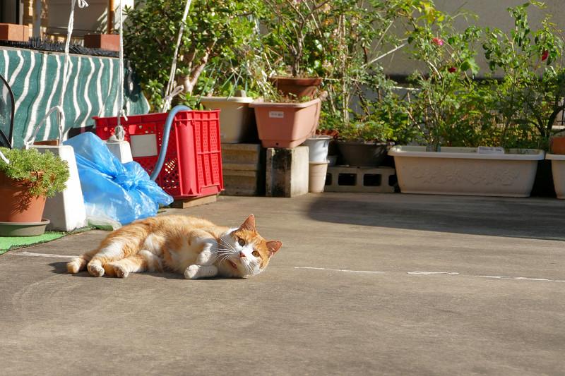 駐車場で転がってた茶白猫1