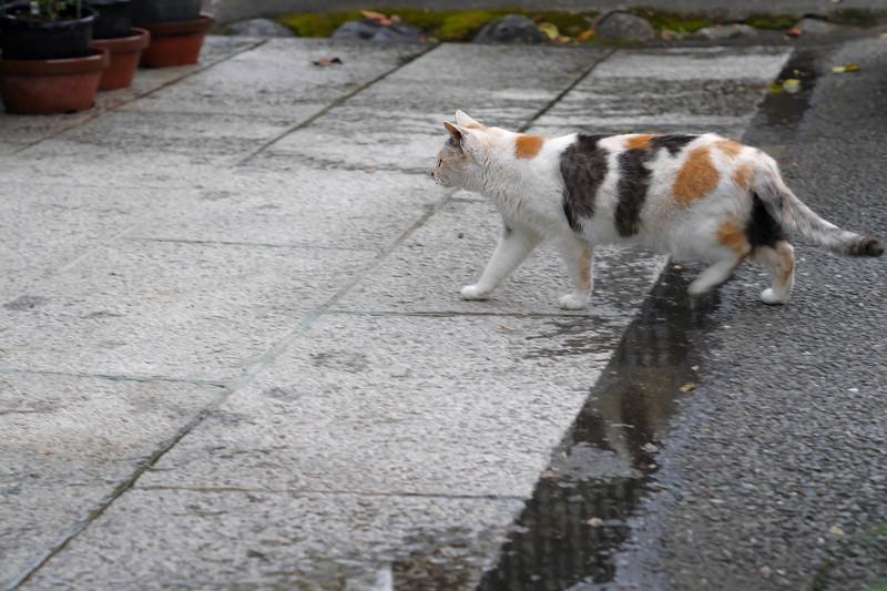 参道の薄三毛猫2