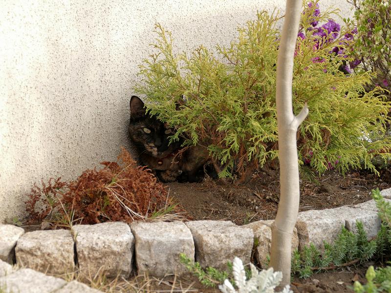 低木とサビ柄猫2