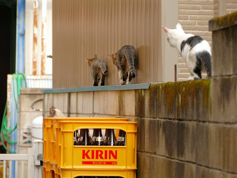 ブロック塀を歩く仔猫たち2