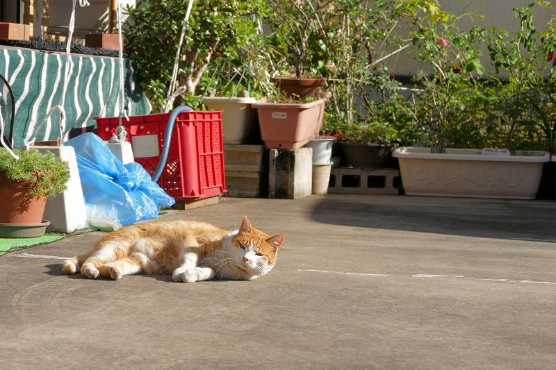 駐車場で転がってた茶白猫2