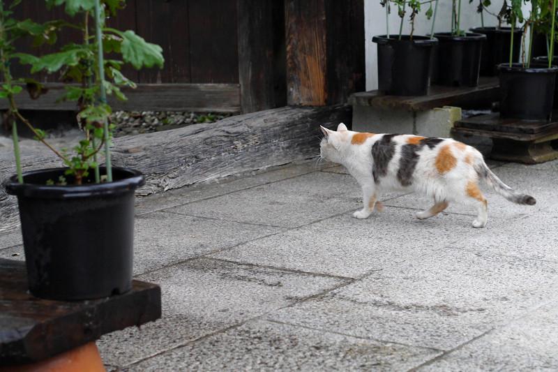 参道の薄三毛猫3