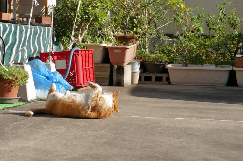 駐車場で転がってた茶白猫3