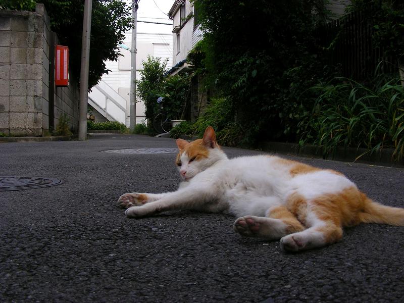 路地で寝そべる茶白猫1