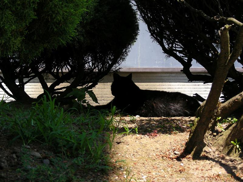 低木の間の黒猫2