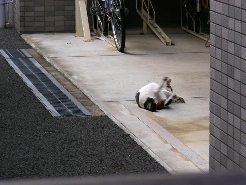 白キジ猫とキジ白猫3