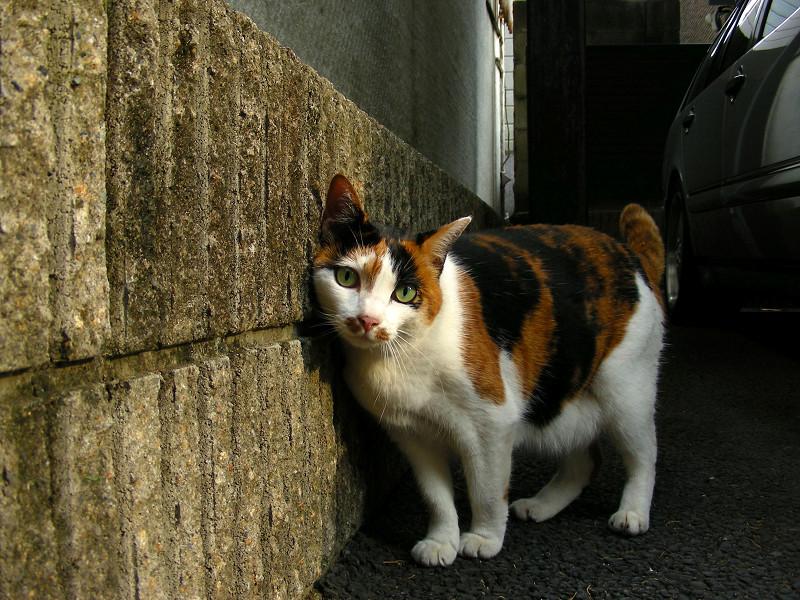 ガレージの壁に擦り付け三毛猫