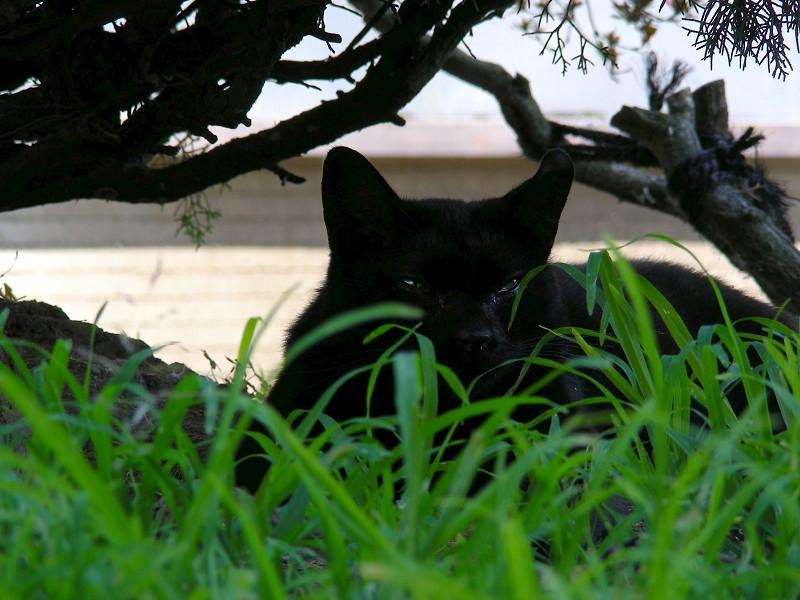 低木の間の黒猫3