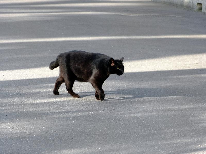 テカりながら歩く黒猫1