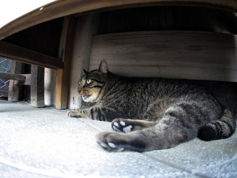ラジオ体操机下で寝ているキジトラ猫1