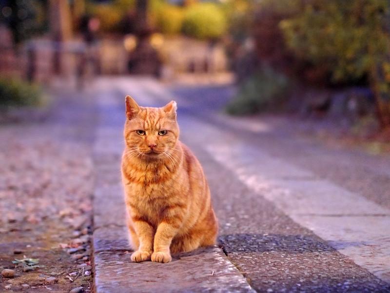 夜更けの参道のアメショー風猫1
