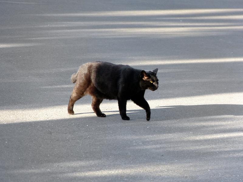 テカりながら歩く黒猫2