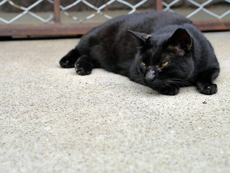 腹ばう黒猫の表情2
