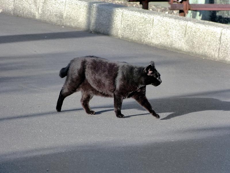 テカりながら歩く黒猫3
