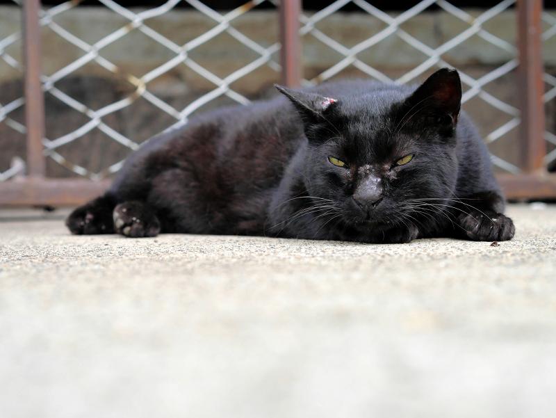 腹ばう黒猫の表情3