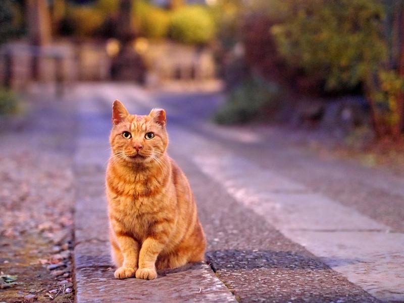 夜更けの参道のアメショー風猫3