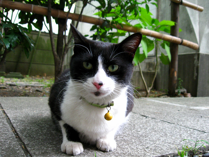 ローアングルで黒白猫
