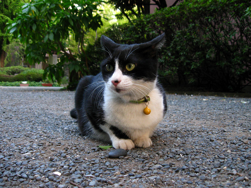 玉砂利と黒白猫1