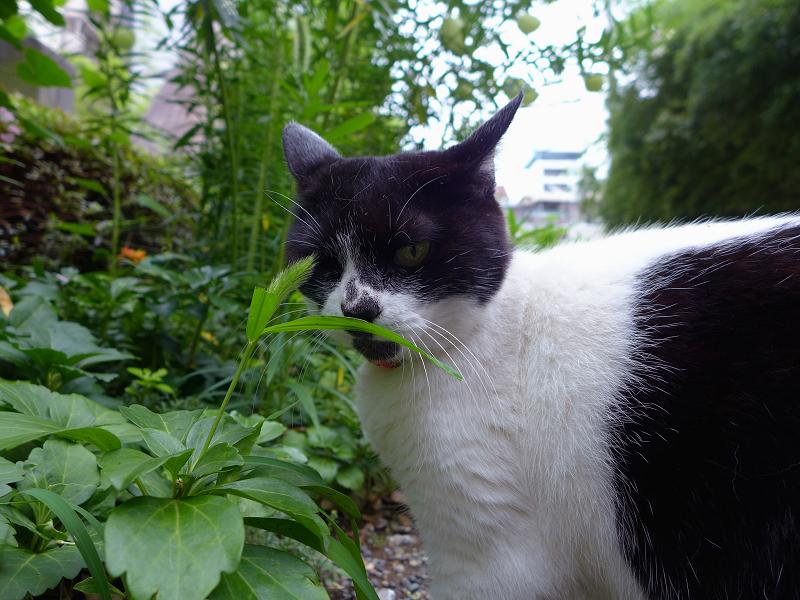 振り返った白黒猫1