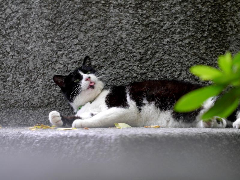 寛いでる黒白猫1