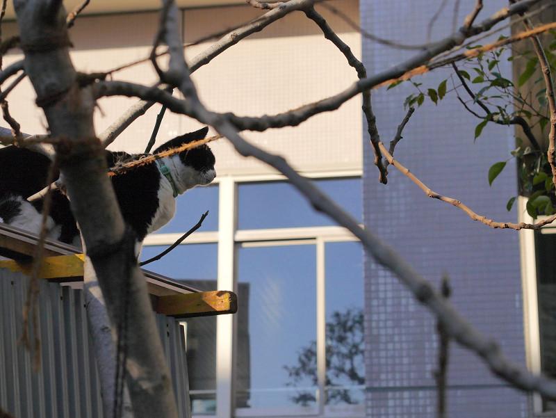 小枝とトタン屋根と黒白猫1